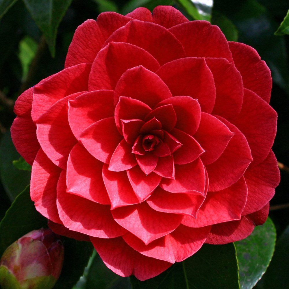 Camellia Black Lace – Midland Horticulture