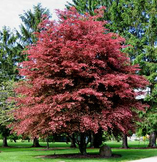fagus sylvatica purpurea midland horticulture. Black Bedroom Furniture Sets. Home Design Ideas