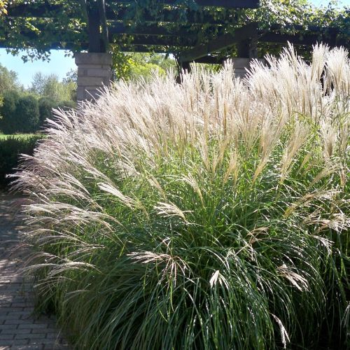 Miscanthus Morning Light – Midland Horticulture